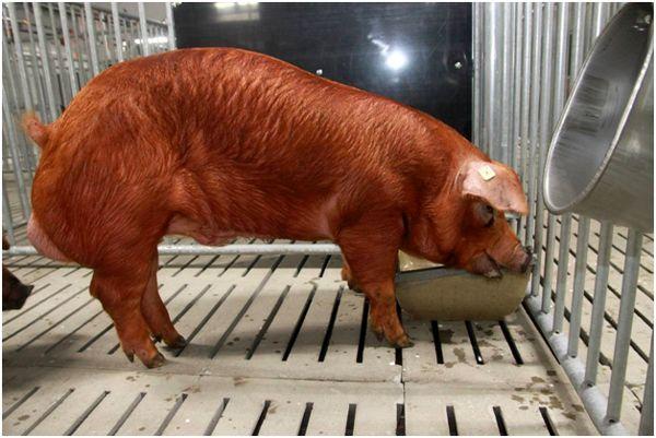 кормление свиньи дюрок