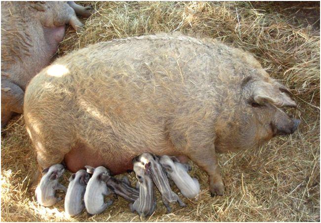Картинки по запросу порода свиней мангалица