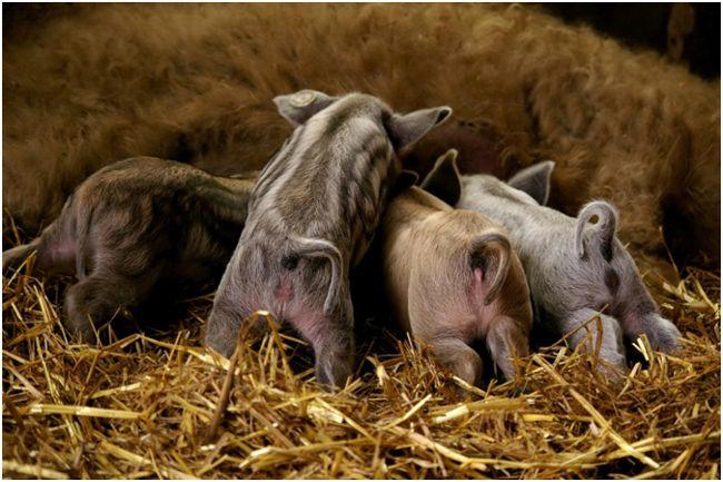 поросята мангалицы едят молоко матери