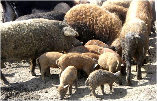 стадо венгерских свиней