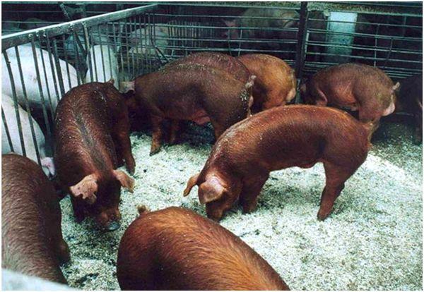 свиньи дюрок в загоне