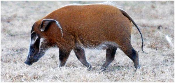 гуляющая кистеухая свинья