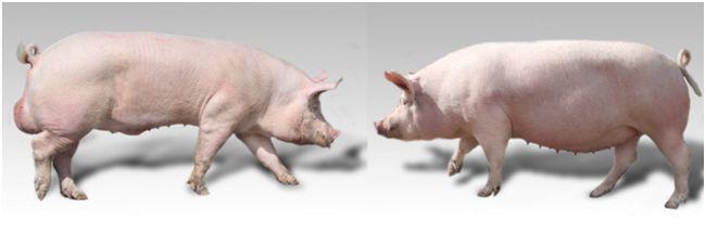 хряк и свиноматка