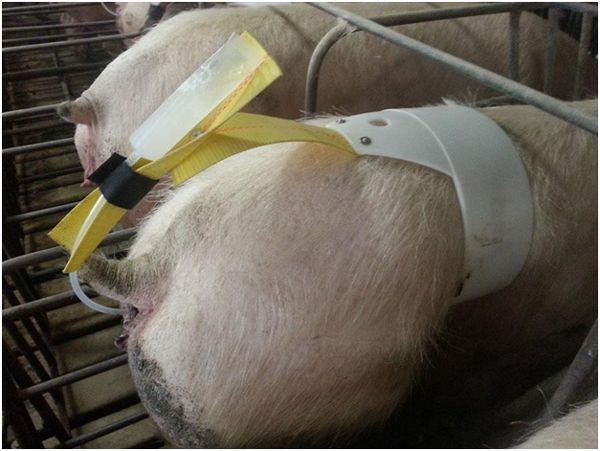 искусственное осеменение свиньи на ферме