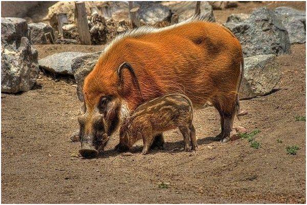 кистеухая свинья с поросенком