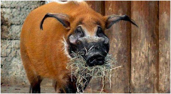 кистеухая свинья с сеном во рту