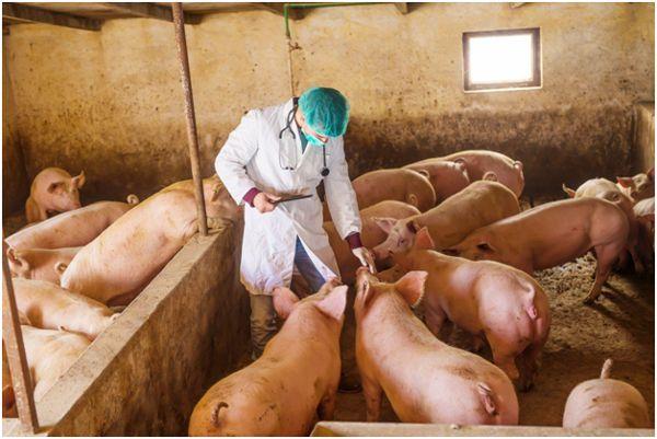 лечение свиней