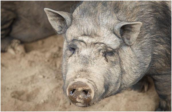 насморк у свиньи