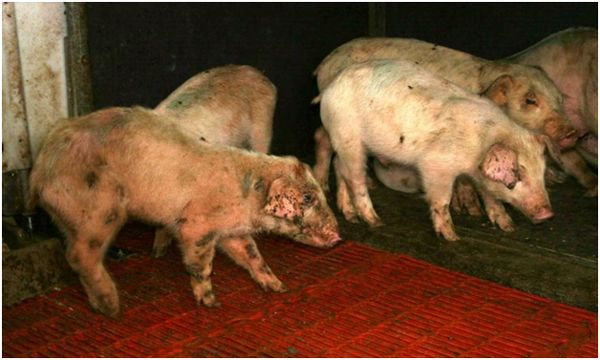 проявление пастереллеза у свиней