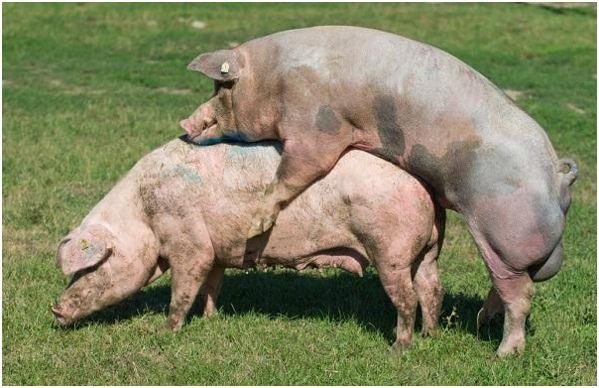скрещивание свиней