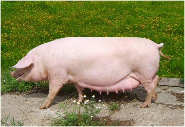 свиноматка на лужайке