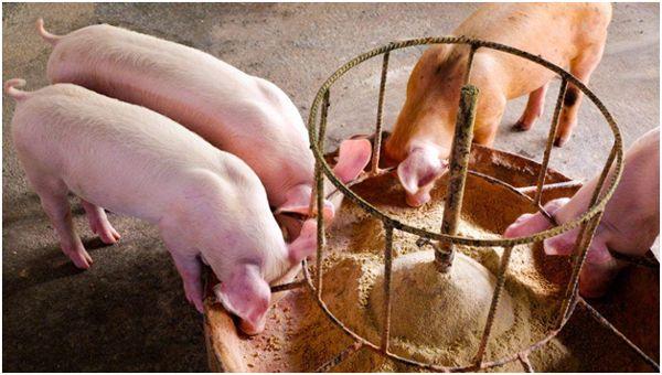 свинья едят