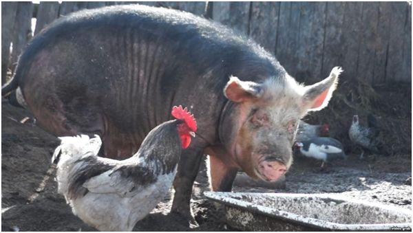 свинья и петух