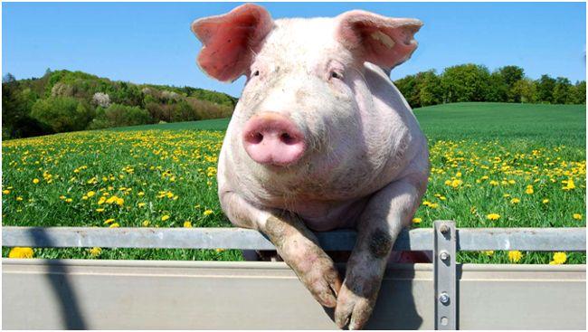 свинья на загоне