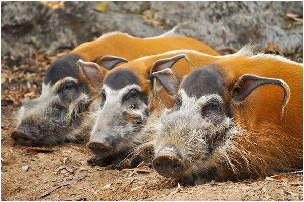 три кистеухих свиньи