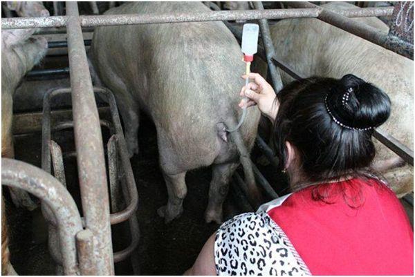 введение спермы в свиноматку