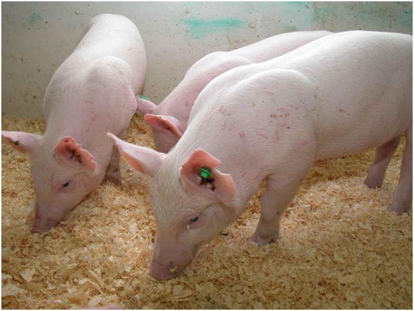 белые свинки на ферме
