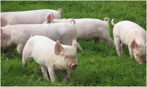 белорусские свинки