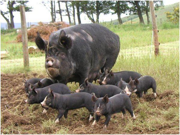 беркширские свинки гуляют