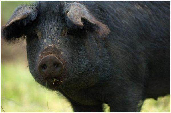 черная свинья крупным планом