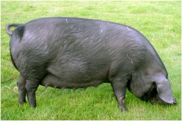 черная свинья на лужайке
