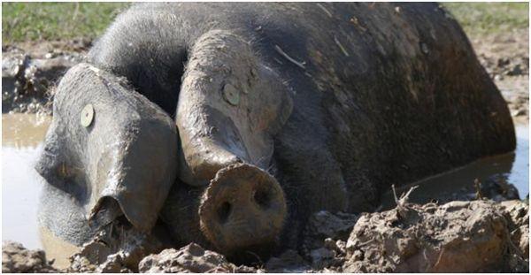 черная свинья в грязи