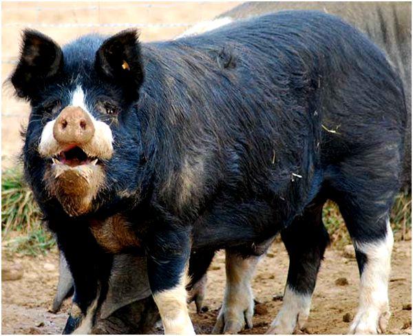 черно-белая кемеровская свинья