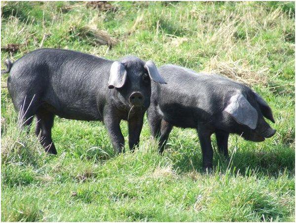 черные свинки на выпасе