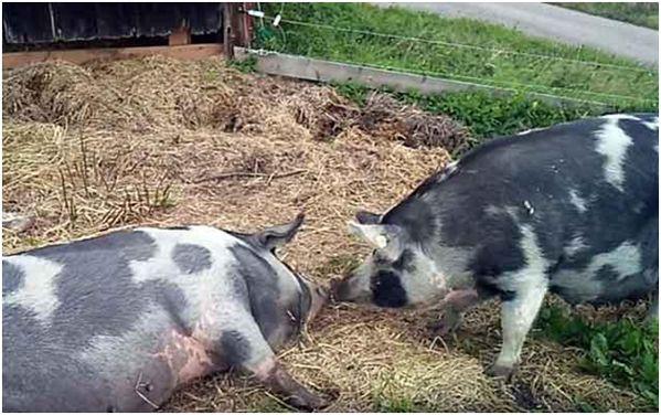 две миргородские свиньи