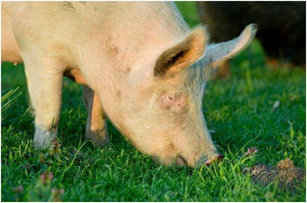 йоркшир жует траву
