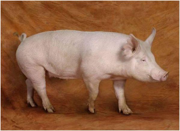 йоркширская свинка