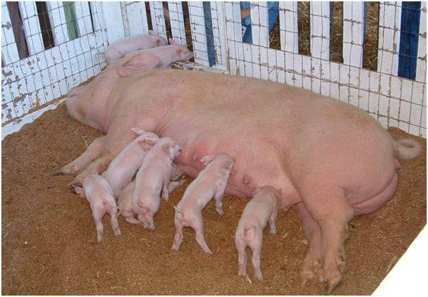 йоркширская свиноматка и поросята