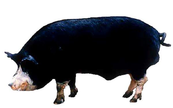 картинка кемеровской свиньи