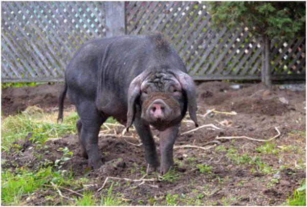 китайская свинка в вольере