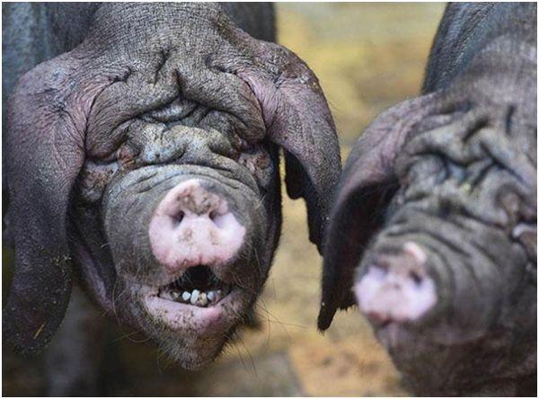 китайские свиньи