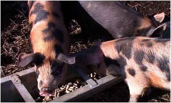 кормление миргородских свиней