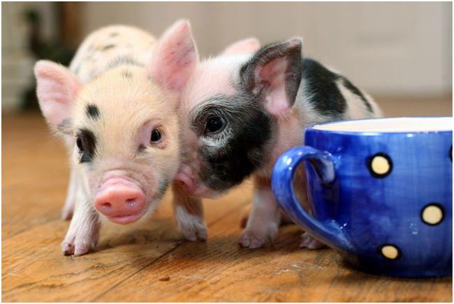 мини-пиги и кружка