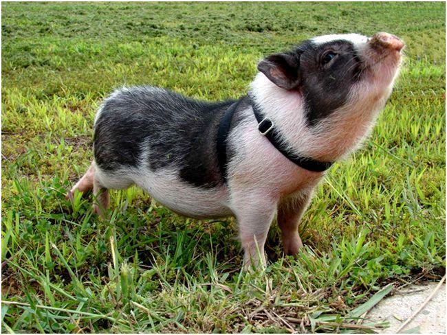 мини-пиги на газоне