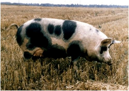 миргородская свинья в поле