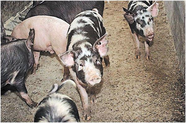 миргородские свиньи в свинарнике