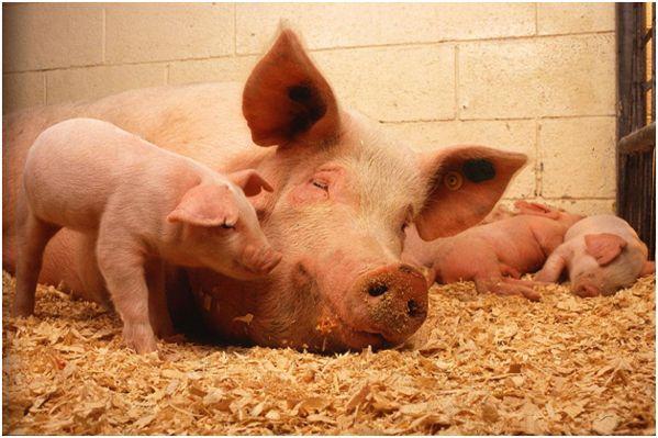 семья белых свинок