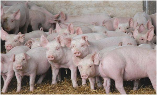 свинки белой породы