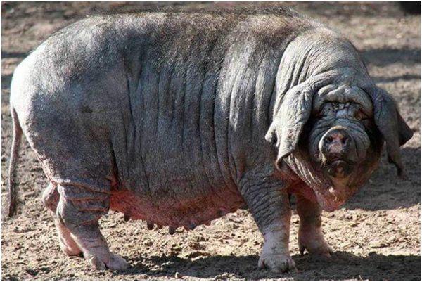 свиноматка китайской породы