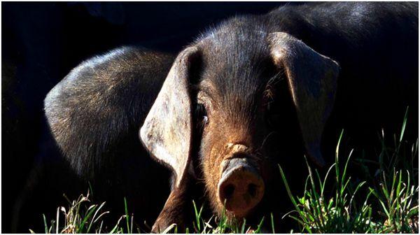 свинья черной породы