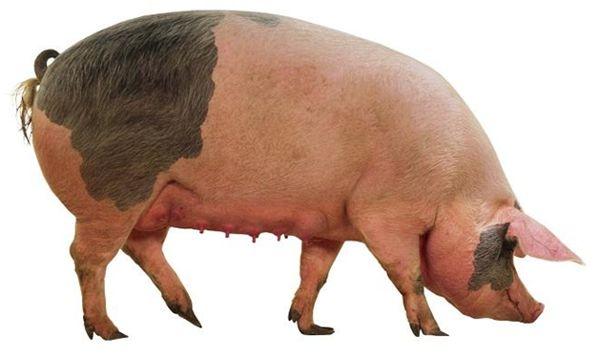 ливенская свинья крупным планом