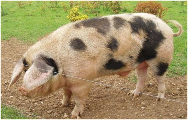 ливенская свинья на выгуле
