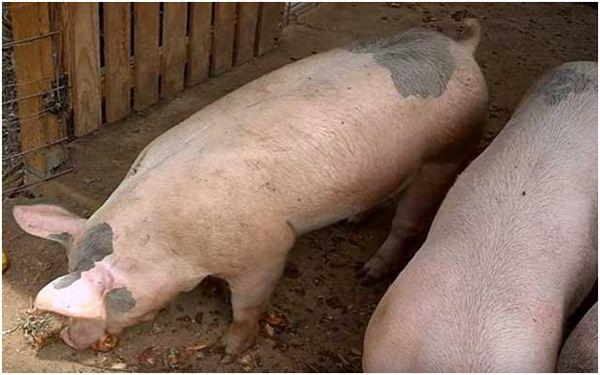 ливенские свинки в свинарнике