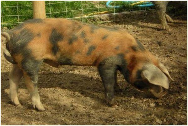 окрас ливенской свиньи