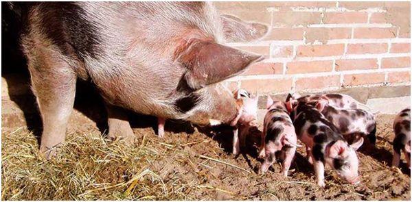 семья ливенских свинок
