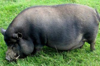 Взрослая вьетнамская свинья